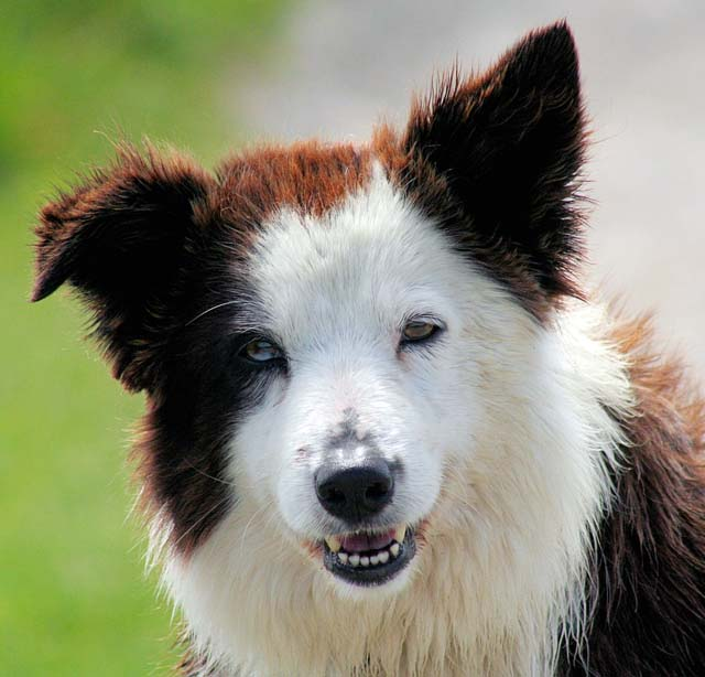 Border_Collie_liver_portrait