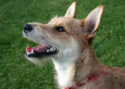 blandras-terrier